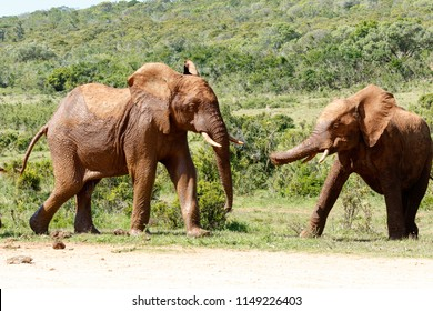 Elephants walking to each other in the field