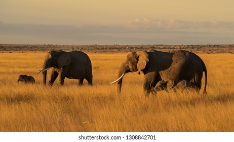 Elephants walking on the Savannah at sunset