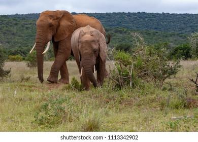 Elephants walking past a thorny bush in the field