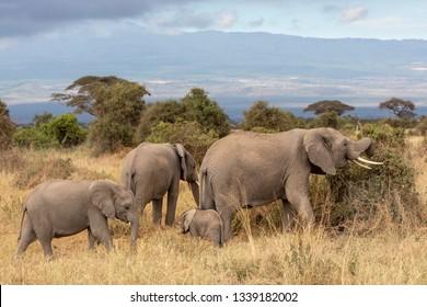 Elephants walking at the Savannah