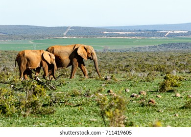 Elephants walking together in the green bushes in the field.