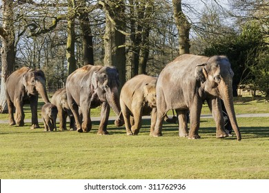 "Elephants walking together in line. A lovely shot of a group of elephants as they walk along in line ""tail in trunk""."