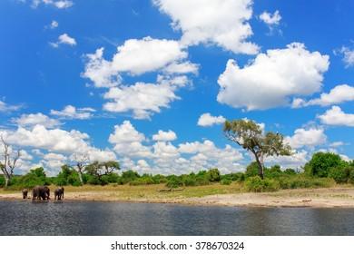 Elephants in the water of Chobe river in Chobe National Park - Botswana