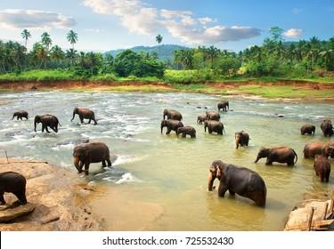 Elephants in water of jungle river, Sri Lanka.