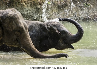 Elephants in the water playing.