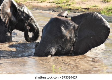 Elephants in the water playing