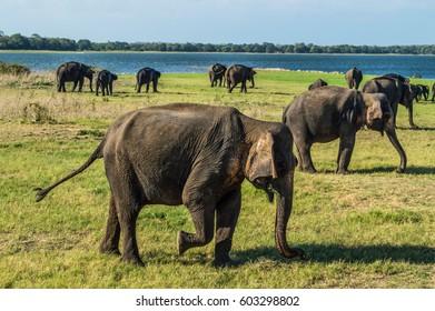 Elephants at the Waterhole of Minneriya National Park in Sri Lanka (Biggest Gathering of Asian Elephants Worldwide)