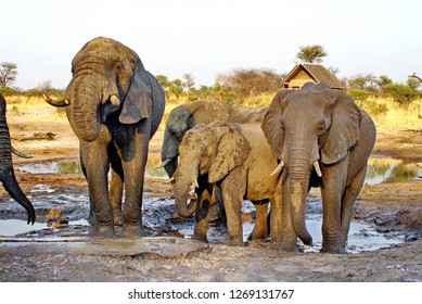 Elephants at a watering hole at a lodge in the bush outside of Nata, Botswana