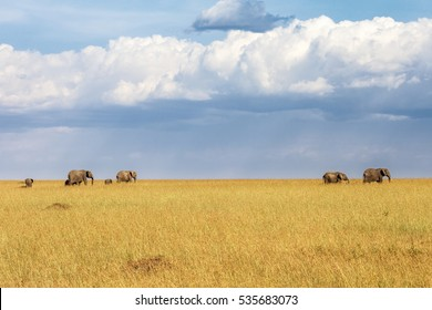 Elephants who walk on the grass savannah