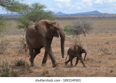 Elephants with young in the Savanna in Tanzania
