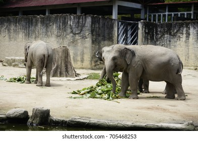 Elephants in a zoo enjoying banana leaves for lunch