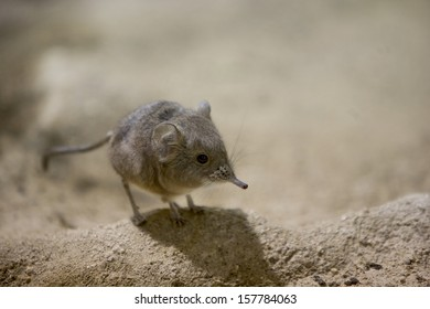elephant-shrew [Elephantulus fuscipes]