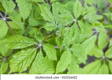 Eleutherococcus  new leaves