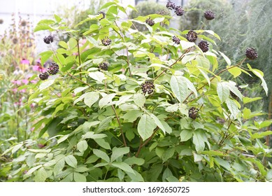 Eleutherococcus senticosus: Eleutherococcus fruits grow on a branch in the garden in summer
