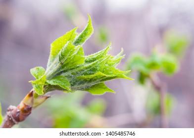 Eleutherococcus senticosus, half open leaves on twig