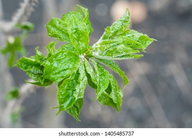 Eleutherococcus senticosus new green leaves