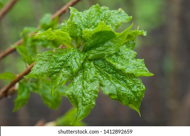 Eleutherococcus senticosus, new leaves with dew drops on branch
