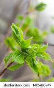 Eleutherococcus senticosus new leaves at spring