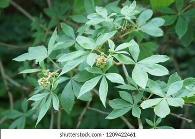 Eleutherococcus senticosus or siberian ginseng or eleuthero green shrub