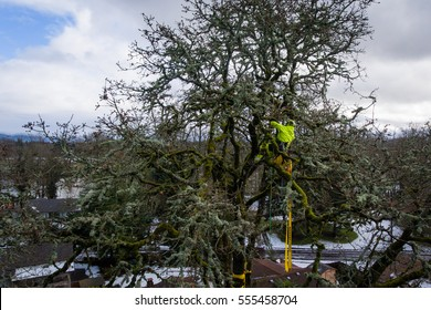 Elevated shot of arborist working in a tall white oak tree that was damaged in a severe ice storm in the northwest.