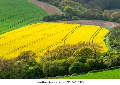 Elevated view of a field of rapeseed with tractor tracks