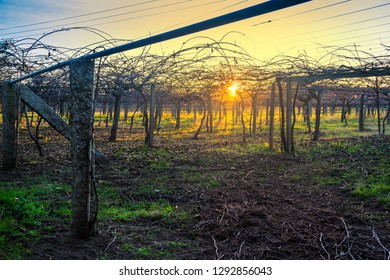 Elevated vineyard in autumn at sunset in Galicia, Spain