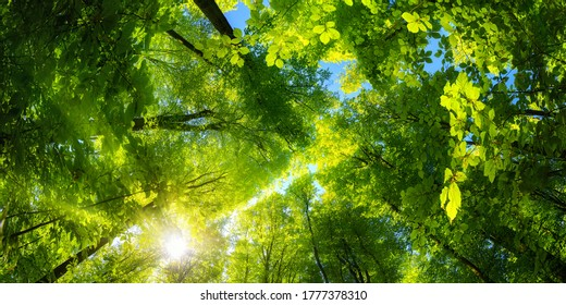 Elevating panoramic upwards view to the canopy in a beech forest with fresh green foliage, sun rays and clear blue sky