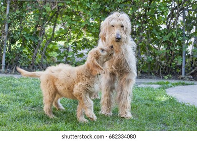 Eleven week old and thirteen year old Goldendoodles, Woody and Bogey, standing together on grass, the puppy looks like he's trying to entice the elderly Goldendoodle to play