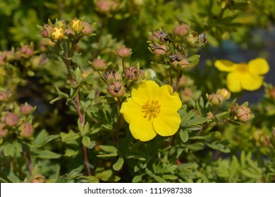 Elizabeth Cinquefoil yellow flower - Latin name - Potentilla fruticosa Elizabeth