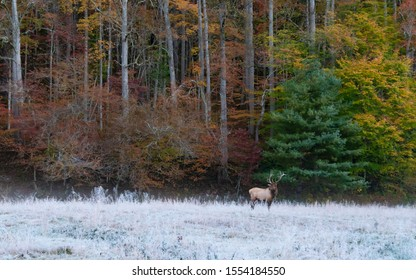 The Elk are up and about on a early frosty morning at Cataloochee valley.