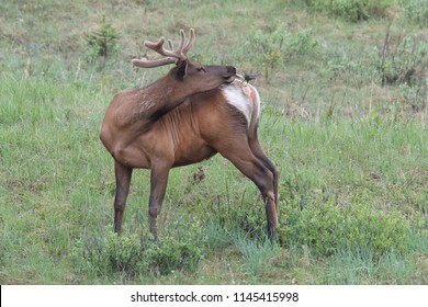 Elk against the  Brown-headed Cowbird, the Elk scare away the  Brown-headed Cowbird , Canada