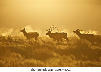 Elk - a.k.a. Wapiti deer - (Cervus canadensis), Greater Yellowstone ecosystem, Wyoming, USA