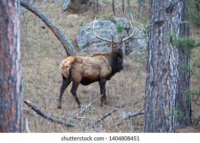 Elk along the highway, Wind Cave National Park