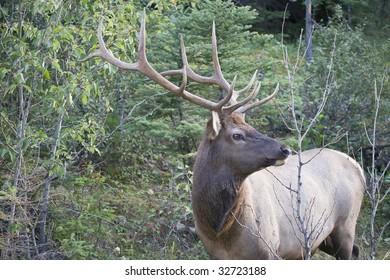 Elk antlers giving a side profile