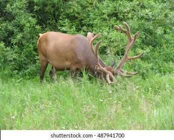 Elk Buck Grazing