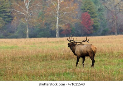 Elk Bugling in Cataloochee
