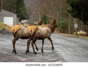 An elk bull wapiti walking on the road in the mountains in the winter season.