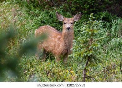Elk Calf in the Morning