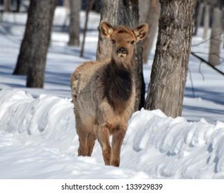 Elk calf in winter