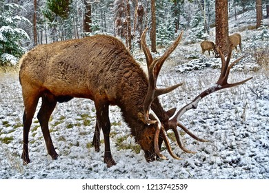 """Elk are also called wapiti, a Native American word that means """"light-colored deer."""" Elk are related to deer but are much larger than most of their relatives."""