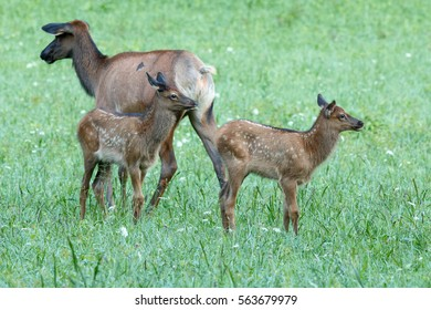 Elk calves playing, North Carolina, Great Smoky Mountains National Park,