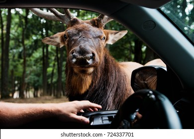 elk at a car window