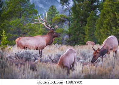 Elk (Cervus canadensis), Grand Teton National Park, Wyoming