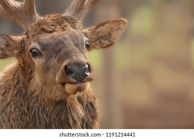 The elk  (Cervus canadensis) or wapiti in game reserve. Wapiti is largest one of the largest land mammals in North America.