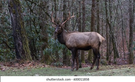 Elk (Cervus elaphus), Cataloochee Valley, Great Smoky Mountains National Park, North Carolina, USA