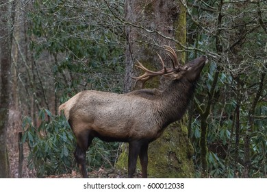 Elk (Cervus elaphus) Eating, Cataloochee Valley, Great Smoky Mountains National Park, North Carolina, USA