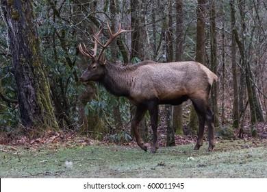 Elk (Cervus elaphus) Walking, Cataloochee Valley, Great Smoky Mountains National Park, North Carolina, USA