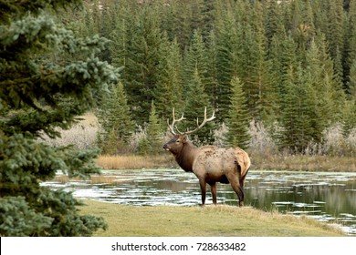 Elk coming down to the water on sunset hours in Banff National Park during the fall season