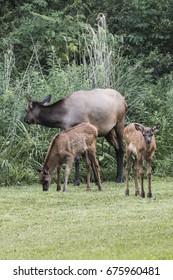Elk Cow and 2 calves - Photograph taken in Elk State Forest, Elk County, Benezette, Pennsylvania.