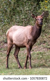 Elk cow during the fall rut